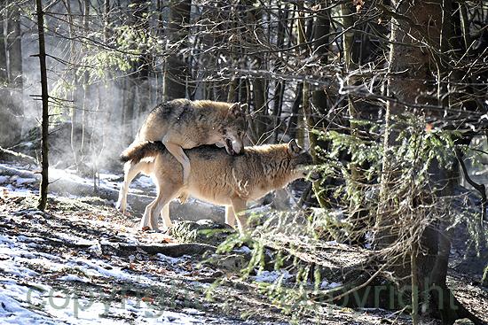 Wölfe, Paarung