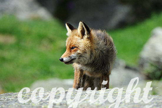 Fuchs, Rotfuchs, Bergfuchs