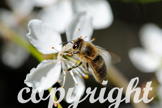 Baumblüten mit Bienen