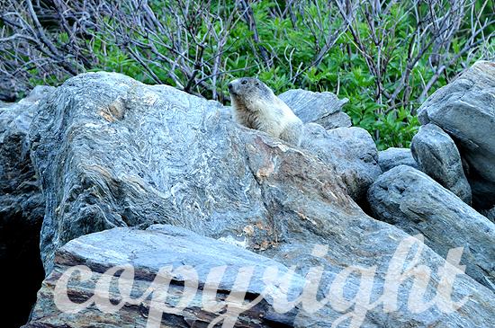 Murmeltier - Marmota