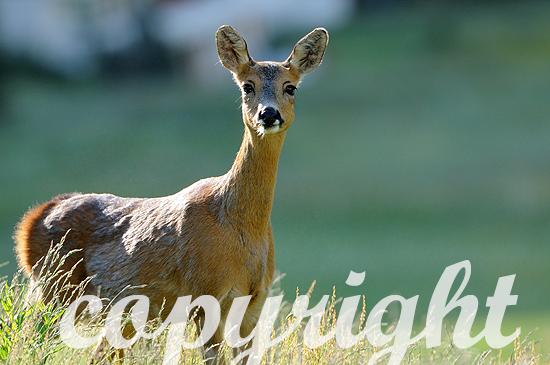 Reh - Capreolus capreolus