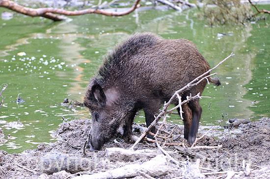 Wildschwein-Überläufer an der Suhle