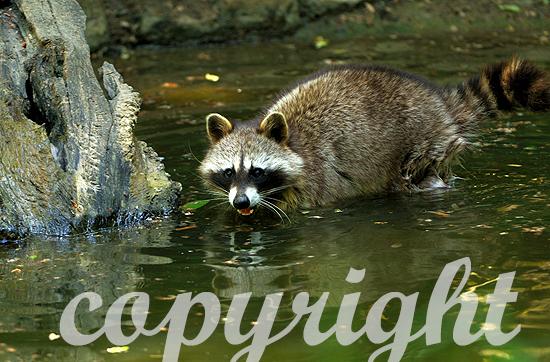Waschbär auf Nahrungssuche im Wasser