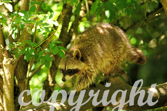 Waschbär klettert im Baum
