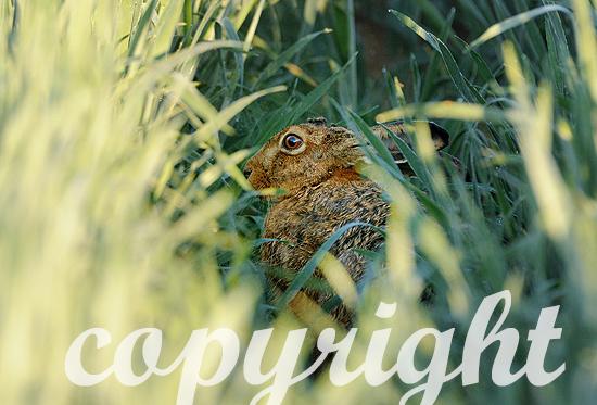Hase, Feldhase im taunassen Gras am frühen Morgen.