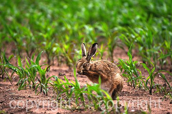 Hase, Feldhase im aufgehenden Maisfeld