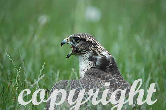 Lannerfalke - Falco biarmicus