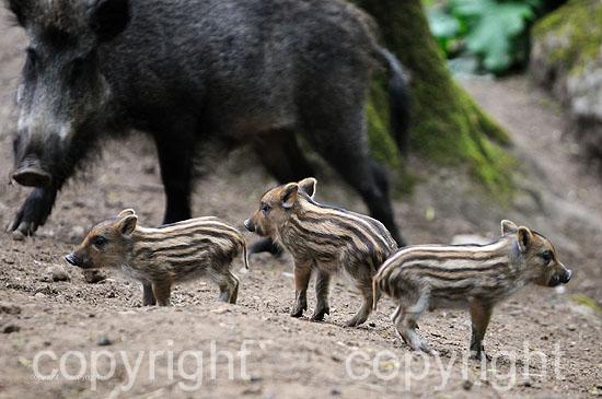 Führende Wildschwein-Bache mit drei Frischllingen im Frühjahr