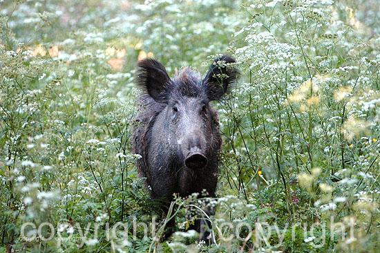 Wildschwein-Sus scrofa  -  Fotos: Reiner Bernhardt