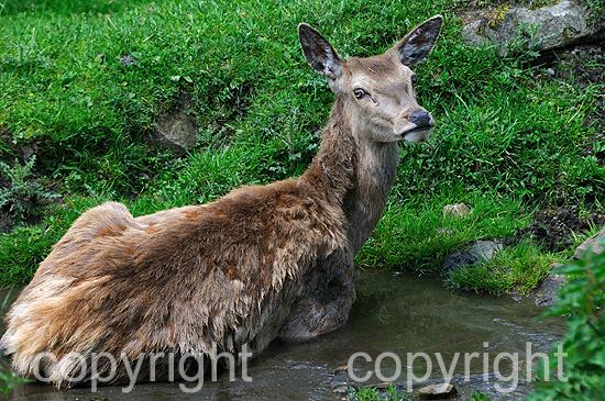 Rotwild, Junger Spießer im Frühling auf Hochalm, in der Suhle