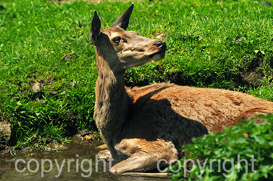 Rotwild, Hirschkuh im Frühling auf Hochalm in der Suhle