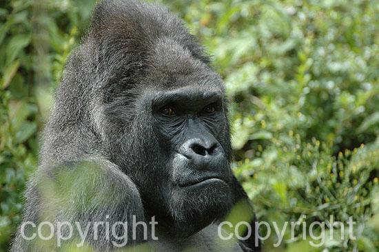 Flachland-Gorilla - G. gorilla gorilla