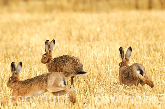 Hase, drei treibende Feldhasen auf dem Stoppelacker im Sommer