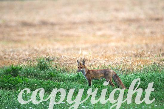 Fast ausgewachsene Jungfüchse auf der frühmorgendlichen Jagd