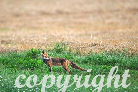 Fuchs frühmorgens mit Mäusen im Maul am Getreidefeld