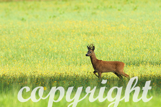 Rehbock äst am frühen Morgen auf einer Blumenwiese zur Brunftz