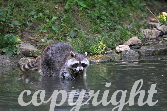 Waschbär im Sommer am Wasser