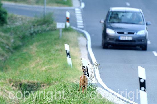 Ein Reh steht dicht am Straßenrand, ankommendes Fahrzeug