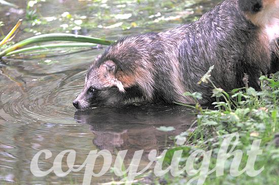Marderhund oder Enok im Sommer in Wassernähe