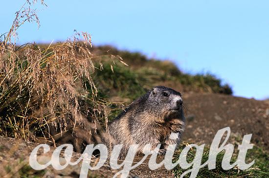 Alpenländische Hochgebirgs-Murmeltiere im Herbst