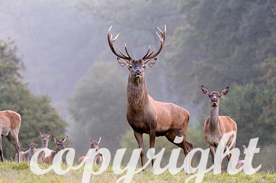 Rothirsche, ungerader 12-Ender, am Ende der Brunft im Herbst im