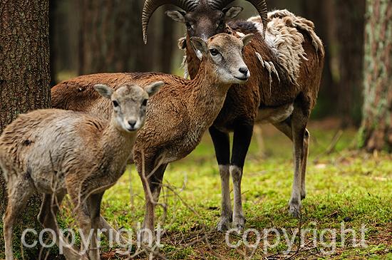 Mufflons im herbstlichen Forst