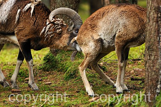 Bewindender Widder, Mufflons im herbstlichen Forst