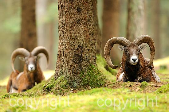 Ruhende kapitale Widder, Mufflons im herbstlichen Forst