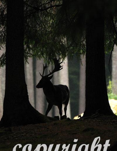 Ablnormer Schaufler, Damwild im herbstlichen Forst