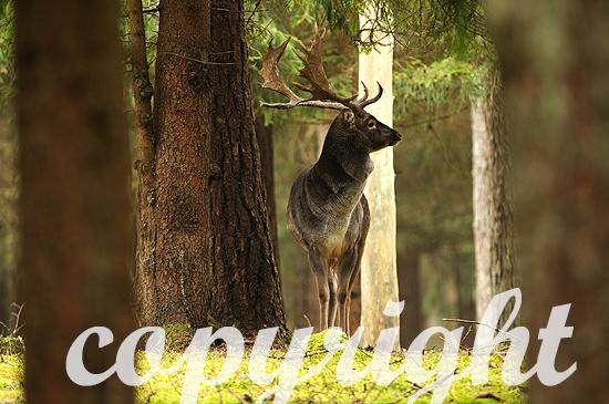 Damwild im herbstlichen Forst