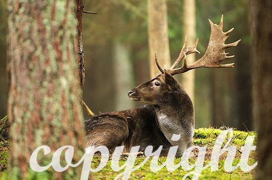 Abnormer Schaufler, Damwild im herbstlichen Forst