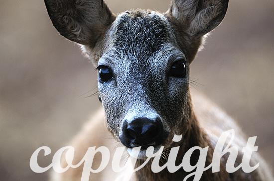 Reh; Capreolus capreolus;