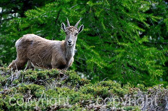 Steinbock, Capra ibex