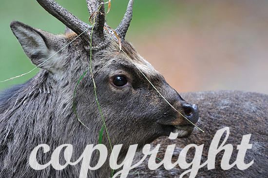 Sikahirsch - Cervus nippon