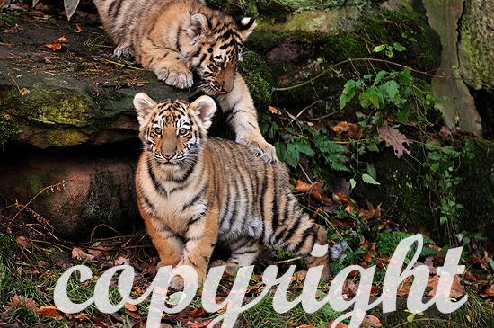 Sibirische Tiger, Panthera tigris altaica