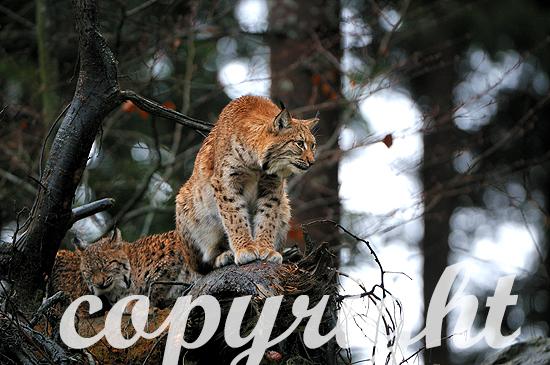 Luchs - Lynx lynx