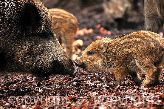 Führende Wildschwein-Bache nimmt Geruch von Frischlingen auf