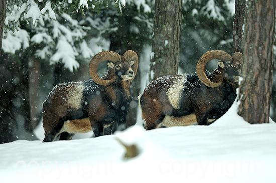 Mufflon - Ovis ammon musimon