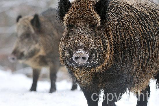 Junger, starker Wildschwein-Keiler im winterlichen Mischwald