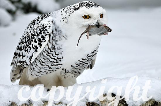 Schnee-Eule  -  Nyctea scandiaca