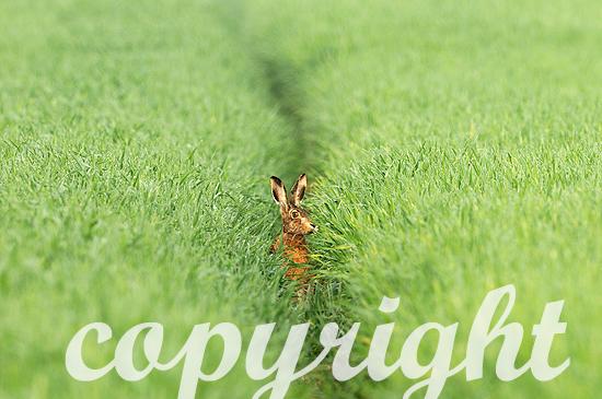 Hase im ersten Grün des Frühlings auf dem Feld