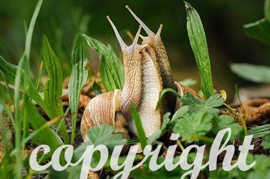 Weinbergschnecken bei der Paarung im Frühlings-Gras
