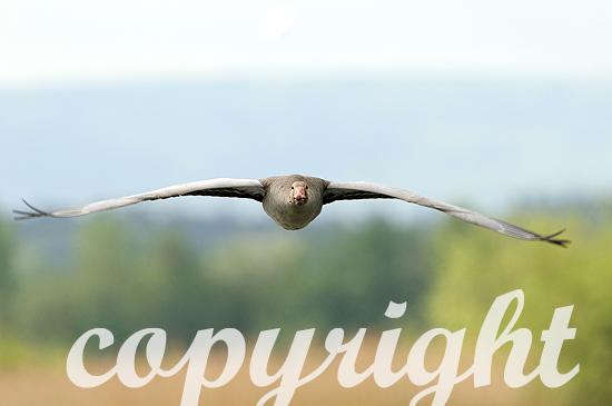 Graugänse im Flug im Frühjahr