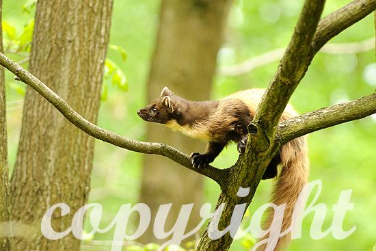 Baummarder im Frühjahr, auf Bäumen kletternd