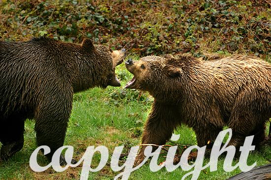 Kämpfende Braunbären im Frühling
