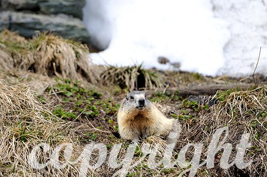 Murmeltiere im Frühjahr im Hochgebirge