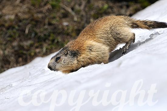 Murmeltiere im Frühjahr im Hochgebirge auf Schneedecke