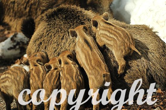 Wildschweine im tiefen Märzschnee mit Frischlingen