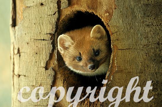 Baummarder schaut aus seiner Baumhöhle