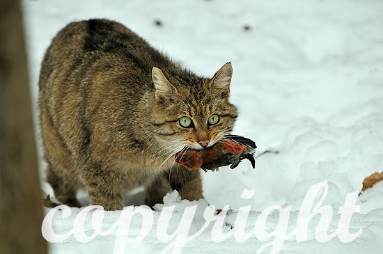 Wildkatze im Tiefschnee